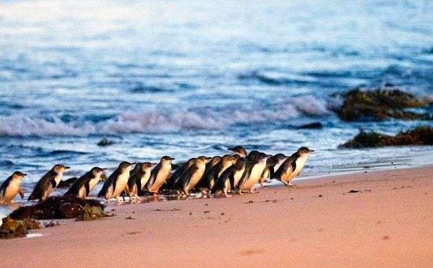 Phillip Island Penguin Parade Ultimate Eco Day Tour from Melbourne
