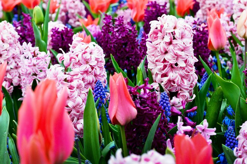 Keukenhof Gardens and Tulip Fields Day Tour from Rotterdam