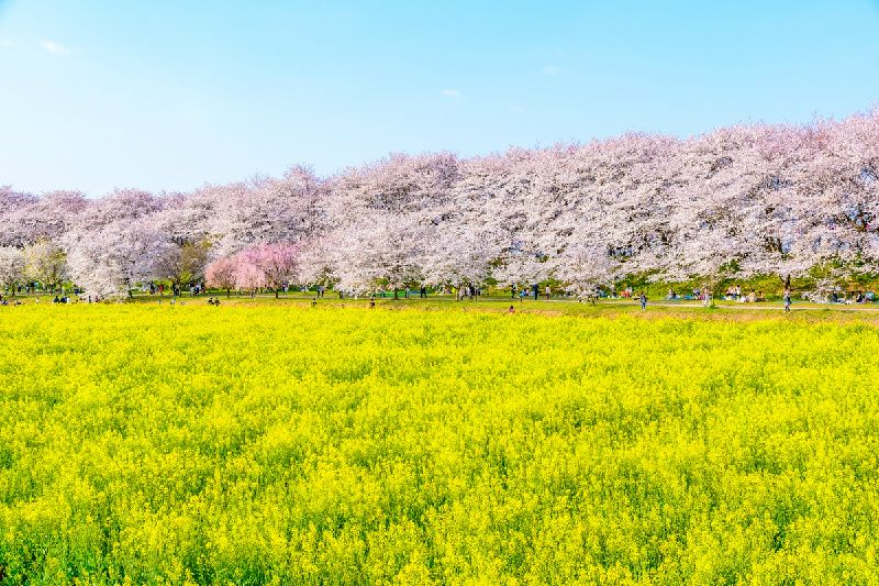 Cherry, Rapeseed & Peach Blossoms Tour From Tokyo