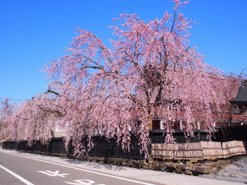 3-Day Ultimate Cherry Blossom Tour in Northeast Japan from Tokyo
