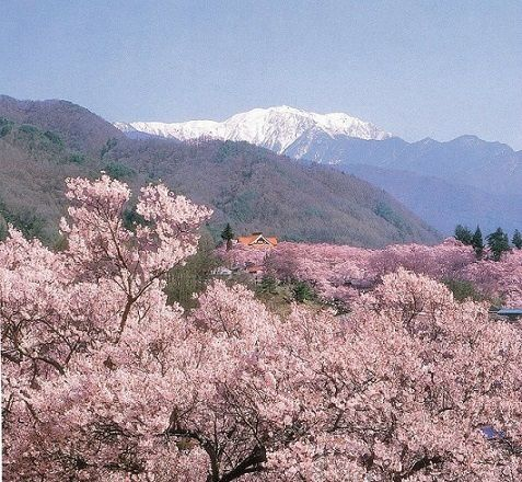 2-Day Cherry Blossom Viewing Tour in Nagano & Niigata Prefectures from Shinjuku