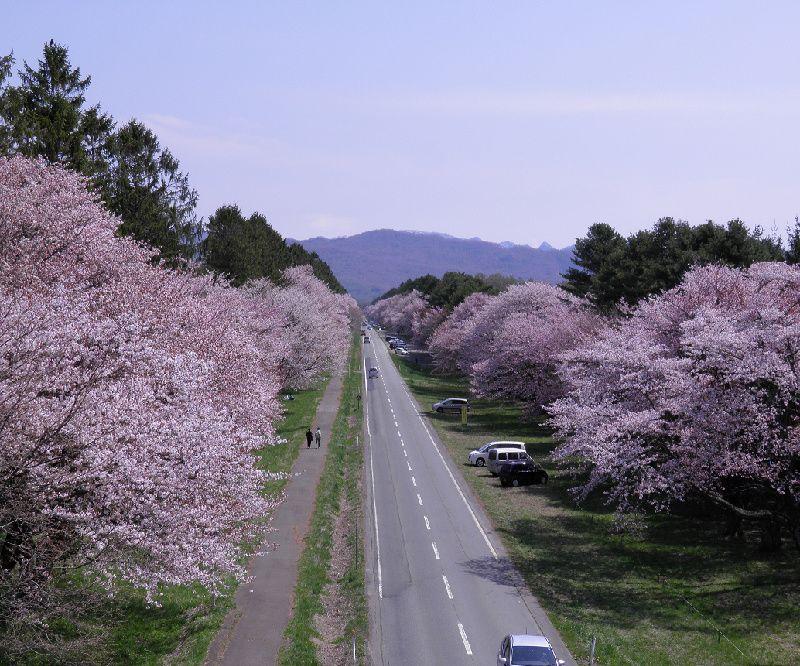 Hokkaido's Premier Cherry Blossom Road Day Tour From Sapporo